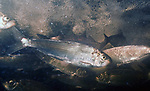 Alewife herring, Mills River, Portland, Maine