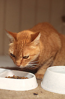 Ernie, a red mackeral tabby cat, eats her dinner, Daytona Beach, FL. (Photo by Brian Cleary/www.bcpix.com)