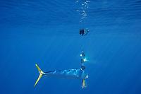 dorado, mahi-mahi, mahimahi, mahi mahi, or dolphin fish, Coryphaena hippurus, juvenile schoolie swimming past a flasher, off South Kona Coast, Big Island, Hawaii, USA, Pacific Ocean
