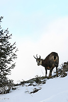 Chamois buck standing in the snow next to a pine