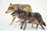 Gray wolves (Canis lupus) in winter.