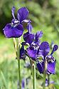 Iris sibirica 'Royal Blue', early May.