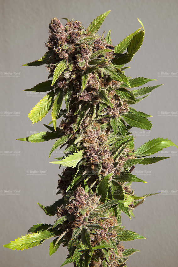 """USA. Colorado state. Denver.  Purple Urklle marijuana at Medicine Man. The Purple Urkle strain is a clone-only variety of cannabis that has skyrocketed in popularity since the 1980s. It is sometimes referred to as Purple Urple or The Urkle. A forest of plants is flowering in one of the marijuana grow rooms at Medicine man. Cannabis buds just look like a knobby tangle of leaves, but the calyx is what actually comprises the female flower. Underneath those tiny leaves (called """"sugar leaves"""") stand tear-shaped nodules which are the calyxes, and they come in many different shapes, sizes, and colors. Calyxes typically contain high concentrations of trichomes, or glands that secrete THC and other cannabinoids. Medicine Man began nearly six years ago as a small medical marijuana operation and has since grown to be the largest single marijuana dispensary, both recreational and medical, in the state of Colorado and has aspirations of becoming a national brand if pot legalization continues its march. Cannabis, commonly known as marijuana, is a preparation of the Cannabis plant intended for use as a psychoactive drug and as medicine. Pharmacologically, the principal psychoactive constituent of cannabis is tetrahydrocannabinol (THC); it is one of 483 known compounds in the plant, including at least 84 other cannabinoids, such as cannabidiol (CBD), cannabinol (CBN), tetrahydrocannabivarin (THCV), and cannabigerol (CBG). 19.12.2014 © 2014 Didier Ruef"""