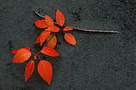 Branch of bright orange leave lies on a sandy shore in Alaska.