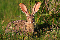 Black-tailed Jackrabbit (Lepus californicus), adult, Laredo, Webb County, South Texas, USA
