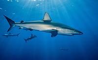 Galapagos shark, Carcharhinus galapagensis, Midway Atoll, Papahanaumokuakea Marine National Monumen, Northwestern Hawaiian Islands, Pacific Ocean