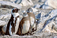 African penguin, jackass penguin, or black-footed penguin, Spheniscus demersus, with chicks, endangered species, Dyer Island, Western Cape, South Africa