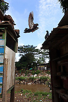 A pigeon flies between coops in a community in central Jakarta.<br />
