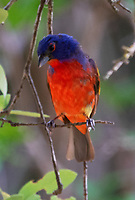 Adult male painted bunting