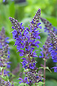 Salvia x sylvestris 'Viola Klose', a dark violet perennial sage.