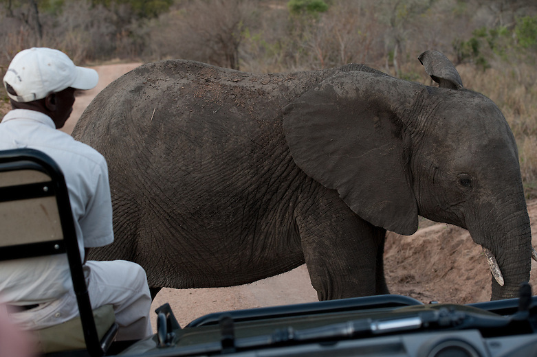Like most young animals, young elephants are extremely curious. Taking their cue from the herd (relaxed or not), they can often come right up to vehicles with an apparent care free attitude in South Africa. In other parts of Africa, this would be suicide, as elephants associate vehicles with poaching and thus the meeting would be more eventful to say the least!