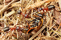 Narrow-headed Ants (Formica exsecta) carrying food back to their nest. South Devon, UK. May.