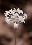 Close up of Flower of dwarf ginseng