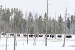 Herd of female American bison (Bison bison) walking through petrified pine forest.  Firehole Valley, Midway Geyser Basin, Yellowstone, USA. January