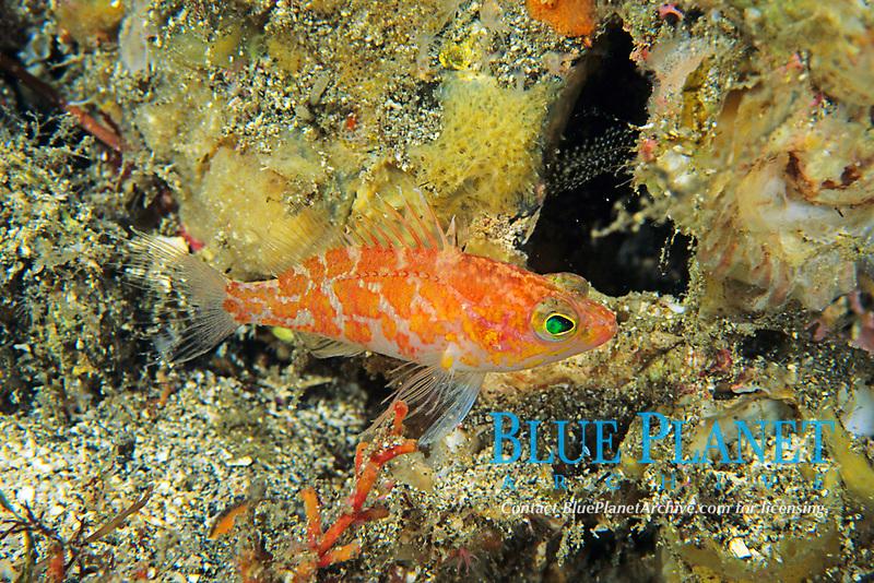 basslet or perchlet, Plectranthias sagamiensis, Izu ocean park, Sagami bay, Izu peninsula, Shizuoka, Japan, Pacific Ocean