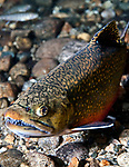 Male eastern brook trout in spawning colors, vertical.  His teeth are very pronounced and ready to battle for his mate