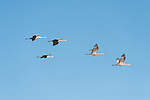 Sonny Bono Salton Sea National Wildlife Refuge, Salton Sea, California; five Sandhill Cranes (Grus canadensis) flying in formation overhead against a clear blue sky