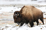 Female American bison (Bison bison) near thermal pool / hot spring. Biscuit Geyser Basin, Yellowstone National Park, Wyoming, USA.
