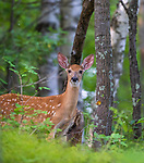 White-tailed fawn in a northern Wisconsin woodland.
