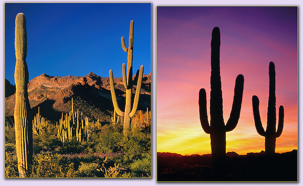 Senset and Saguaro cactus, Arizona .  John offers private photo tours in Arizona and and Colorado. Year-round.