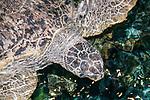 Green sea turtle swims near the surface.