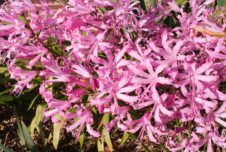 Nerine bowdenii 'Smee', autumn and winter flowering bulb, pink blooms