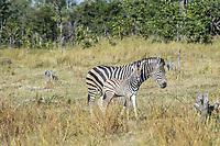 Okavango Delta_zebra