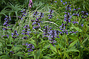 """Nepeta kubanica, early June. """"A handsome, rugged perennial catmint with an upright habit…taller, bolder and more dramatic than Nepeta subsessilis. Green, deeply veined and conspicuously serrated lance-shaped leaves hang off a columnar body, above which stand chunky spikes of violet-blue flowers, densely arranged in tightly packed whorls and held in dark calyxes. The flowers are typically hooded and lobed, and slightly speckled in the throat. Loved by bees…Origins: Moldova and the Caucasus."""" [Fergus Garrett, Great Dixter, Gardens Illustrated magazine, June 2013]"""