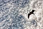 Seagull gliding overhead, Seal Beach, CA.