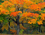 Point Beach State Forest, WI  © Terry Donnelly  <br /> Hardwood forest with Sugar Maples (Acer succharum) in fall color
