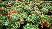 BOGOTÁ-COLOMBIA-08-03-2010. Crasas en cultivo hidropónico; pertenece a la familia de las Cactáceas. Crass in a hydroponics from cacti's family. Photo: VizzorImage
