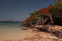 "Flamboyant ""Christmas"" Trees on the Way to Vonu Point, Dolphin Beach, Turtle Island, Yasawa Islands, Fiji"