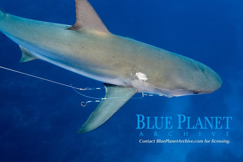 Caribbean reef shark, Carcharhinus perezii, with fishing line, Bahamas, Caribbean, Atlantic