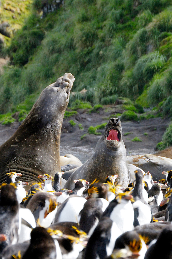 The War Lords I - Male Elephant seals in discusssion among King and Royal penguins at Sandy Bay, Macquarie Island