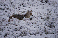 Coyote in fresh snowfall, Yellowstone National Park