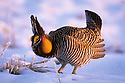 00500-002.18 Greater Prairie Chicken strutting on lek after April snowstorm in central Minnesota.   MN