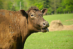 Seeling Farm. Brown cow.