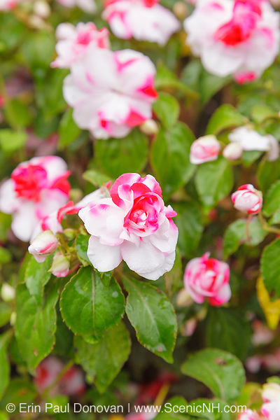 Impatiens flowers during the summer months at  Prescott Park in Portsmouth, New Hampshire USA