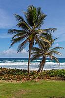 Barbados.  Barclay Park, Atlantic Ocean Side of the Island.  Sea Grape used for Beach Erosion Control.