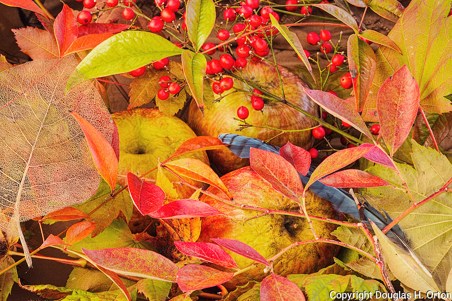 Fall color still life.  Apples, Heavenly Bamboo, Bluebery, Ace Maple, Vine Maple.