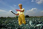 "Rainham Marsh, Essex, East London Development. Part time casual farm work, woman working cutting vegetables. 1990s 1991 UK. One of the closest farms to cenetral London. <br /> Original caption ""WATSON FISHER FARM, WELLINGTON, ESSEX."