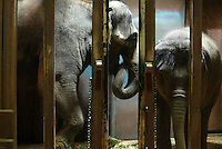 On February 28, 2005 in Seattle,WA. at the Woodland Park Zoo, Chai, a 27year old Asian elephant from Thailand and her baby Hansa,  hang out in a cage shortly after Chai went through an artificial insemination procedure.  Hansa died a couple years later of a herpes virus which had been passed to her through her mother however scientists continue to artificially inseminate Chai.  To date (Jan. 2012) Chai has been artificially inseminated 61 times without success of pregnancy.  Advocates' please for the zoo to stop this have gone unabated.  (photo/Karen Ducey).