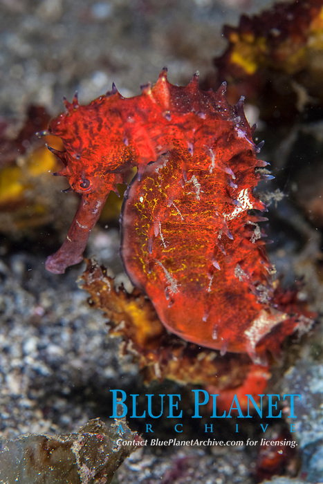 thorny seahorse, or spiny seahorse, Hippocampus histrix, Lembeh Strait, Indonesia, Indo-Pacific Ocean