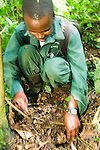 Anti-poaching snare removal team member, Godfrey Nyesiga, removing illegally set foot snare, Kibale National Park, western Uganda