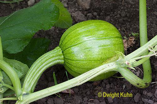 HS24-548z  Pumpkin, fruit ovary developing