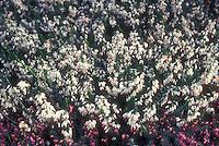 Erica carnea 'Springwood White' heath shrub perennial  in white flowers
