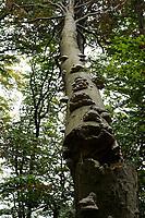 GERMANY, Ruegen, beech forest / DEUTSCHLAND, Mecklenburg-Vorpommern, intakter Wald, Laubwald mit Buchen im Nationalpark Jasmund, Pilze am Baumstamm