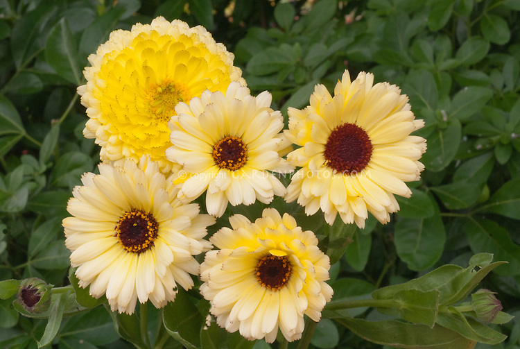 Calendula 'Snow Princess', pot marigold in flower