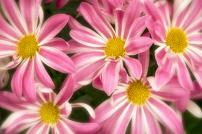 Close up of Chrysanthemum flowers. Oregon