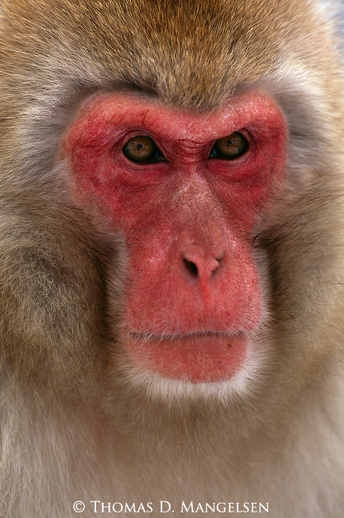 A portrait of adult Japanese macaque or snow monkey Jigokudani National Park, Japan.